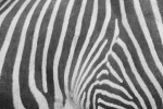 close up photograph of zebra stripes (repetition and pattern) by Sherrie Thai https://flic.kr/p/5AWcud